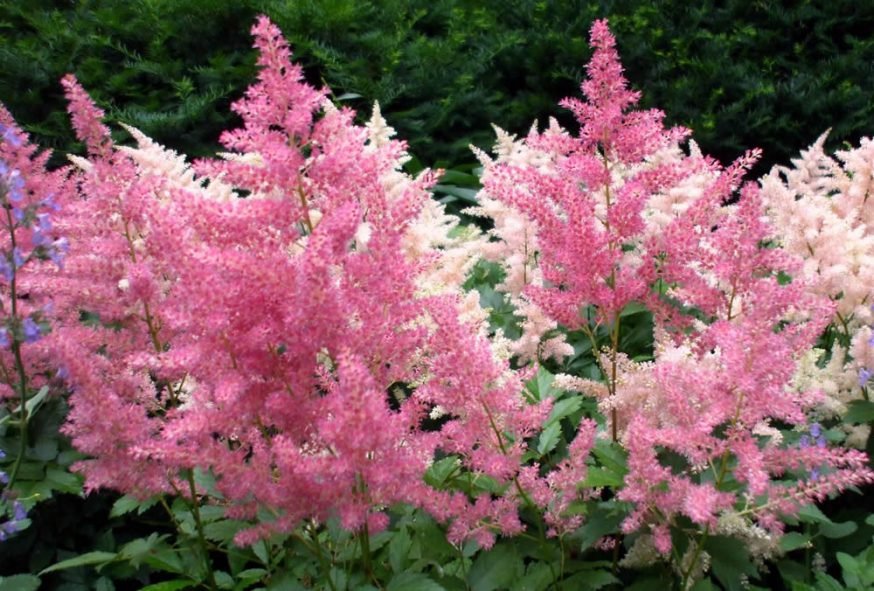 Astilbe flowering shrub