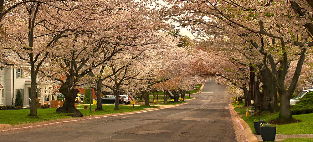 Bethesda MD Cherry Blossoms