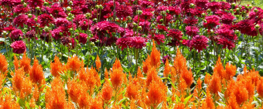 Bethesda Gardens - Paprika Virag Flower Bed