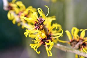 winter landscape - Witch Hazel Flower